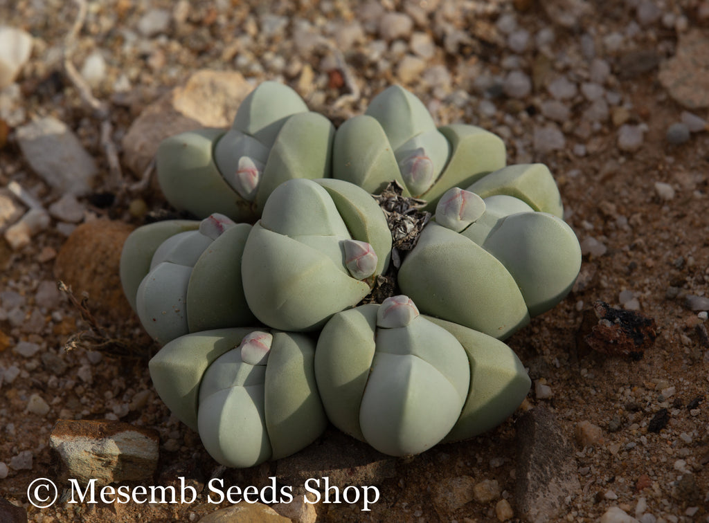 Gibbaeum album EA1278 - Packet of 100 Seeds