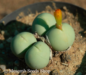 Conophytum calculus - Packet of 100 Seeds