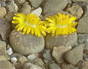 Lithops hermetica C.397 - Packet f 100 Seeds