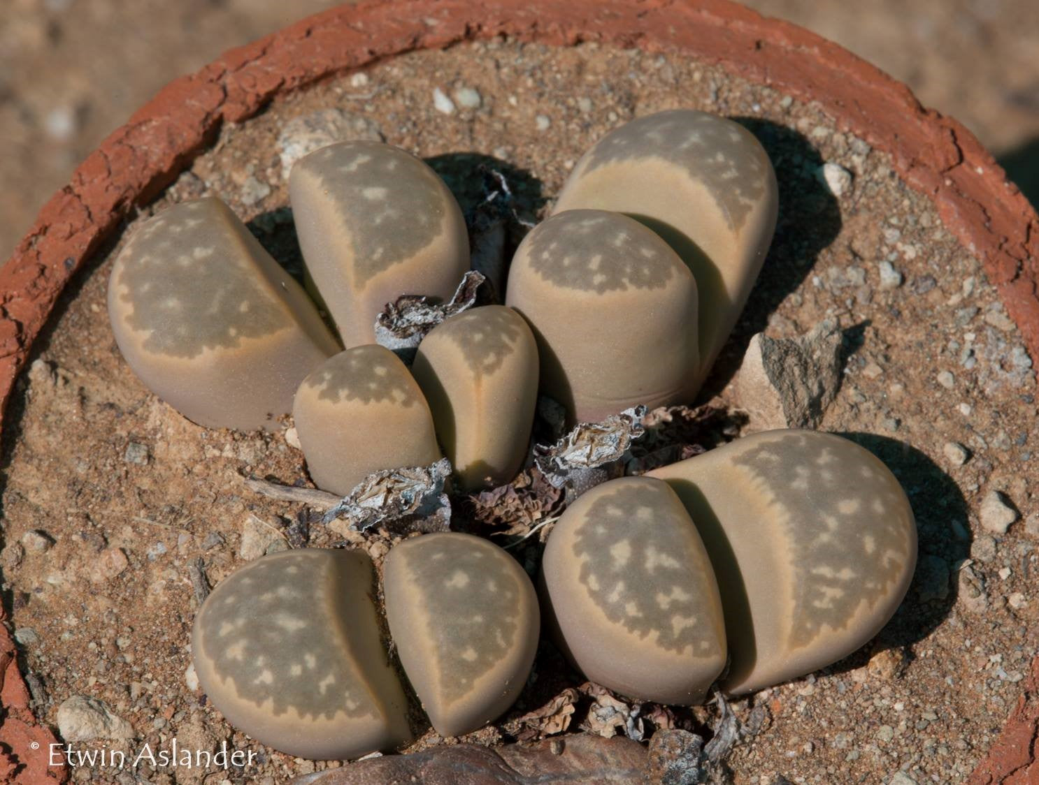 Lithops marmorata C.163 - Packet of 100 Seeds