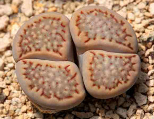 Lithops hallii C.375 - Packet of 100 Seeds