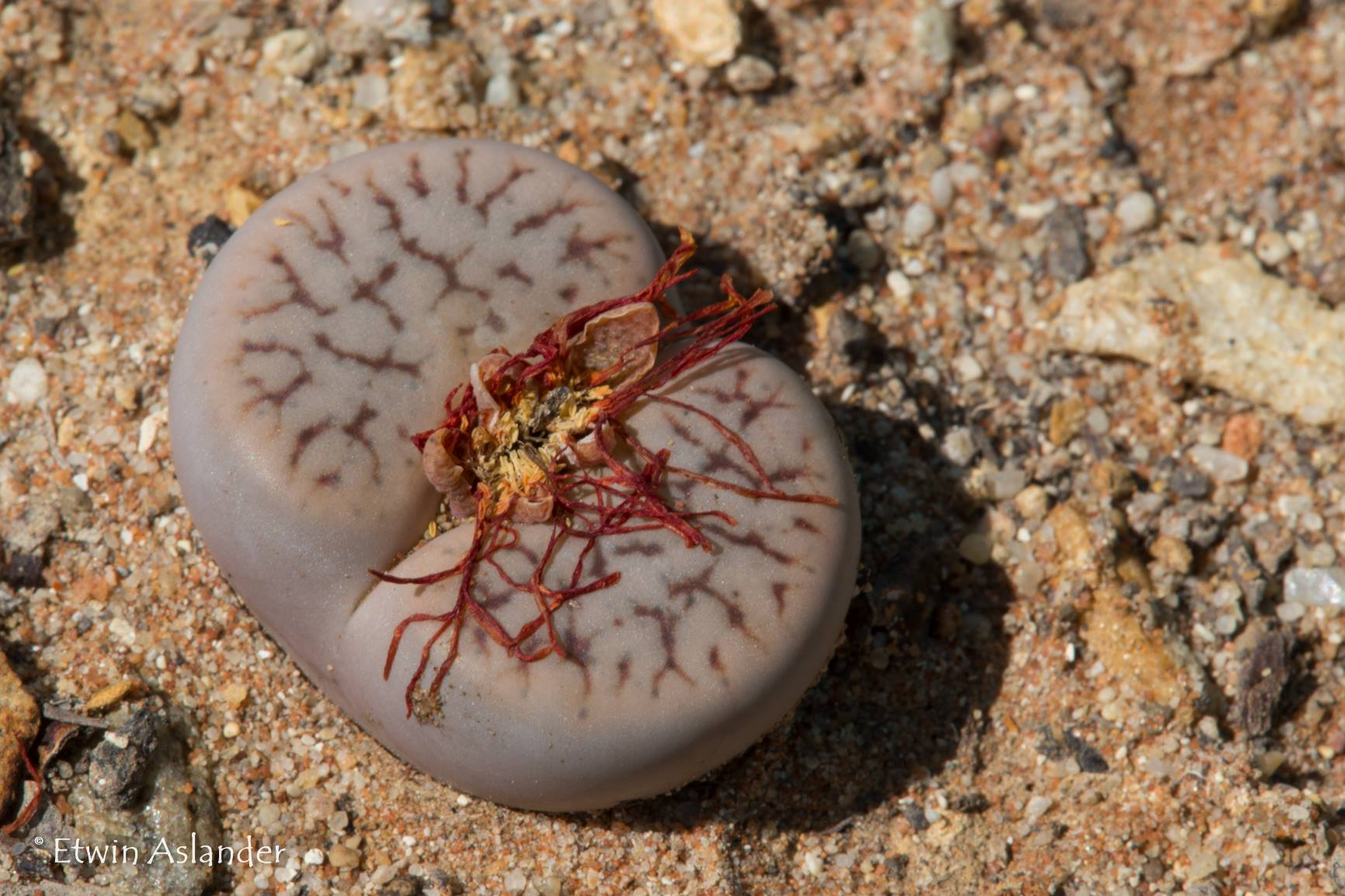 Lithops pseudotruncatella ssp. dendriitica Tok6 (Klein Aub) - Packet of 100 Seeds