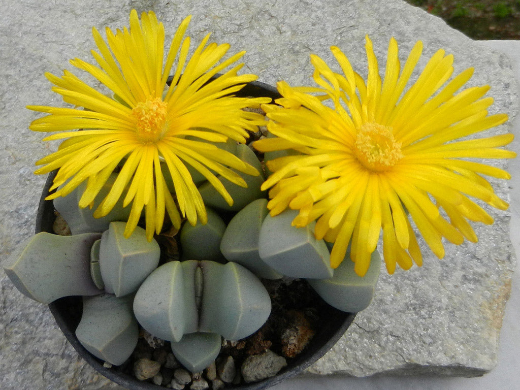 Lapidaria margarethae - Packet of 100 seeds