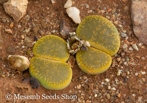 Lithops lesliei var. Albinica C.036a - Packet of 100 seeds
