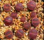 Lithops aucampiae cv. Rudesheim Ruby - Packet of 100 seeds