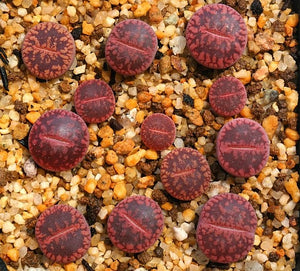 Lithops aucampiae Mix - Packet of 100 Seeds