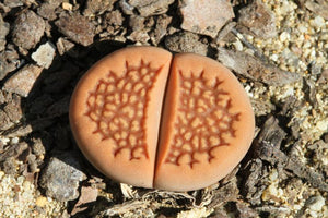 Lithops hallii var. ochracea - Packet of 100 seeds