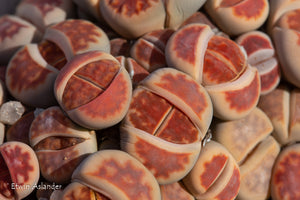 Lithops karasmontana cv. Red Top - Packet of 100 seeds