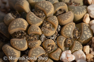 Lithops marmorata EA717 (Umdausensis) - Packet of 100 Seeds