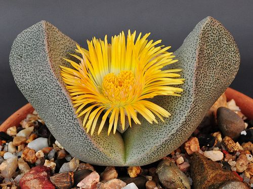 Pleiospilos bolusii - Packet of 100 seeds