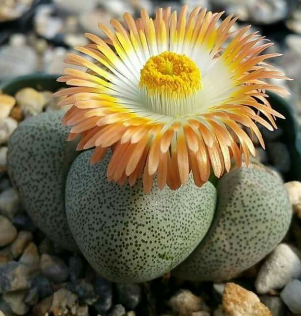 Pleiospilos nelii - Packet of 100 Seeds