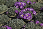 Trichodiadema densum - Packet of 100 Seeds