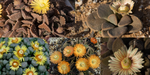 Aloinopsis Mixed Species - Packet of 100 seeds