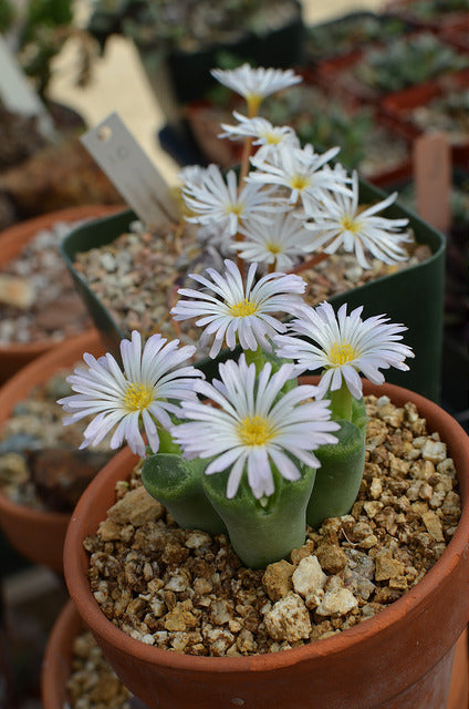 Conophytum longum - Packet of 50 seeds
