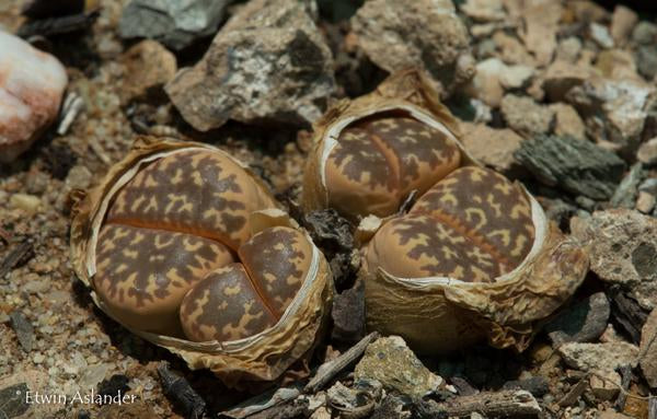 Lithops naureeniae C.304 - Packet of 100 Seeds