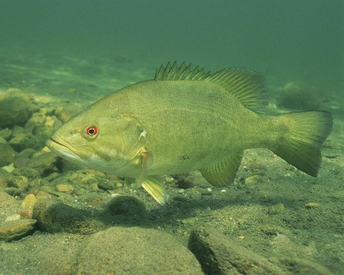Smallmouth Bass Spawning Cycle