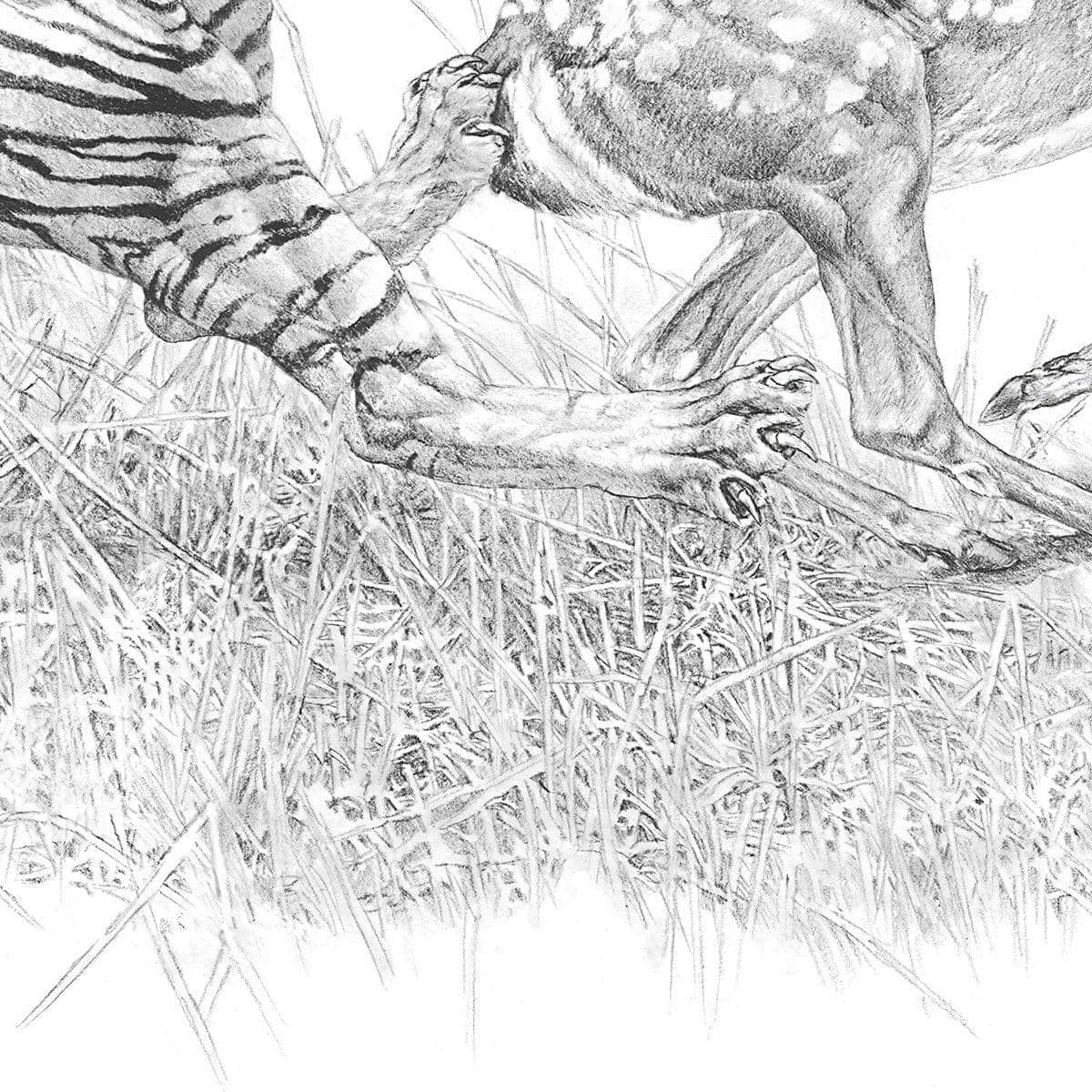 Bengal Tiger Pulling Down a Chital Deer - Canvas Print - The Official Glen Loates Store