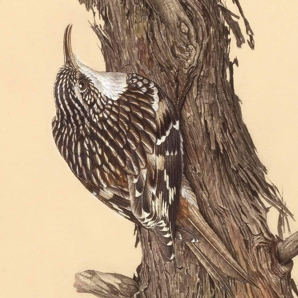 Brown Creeper - Canvas Print