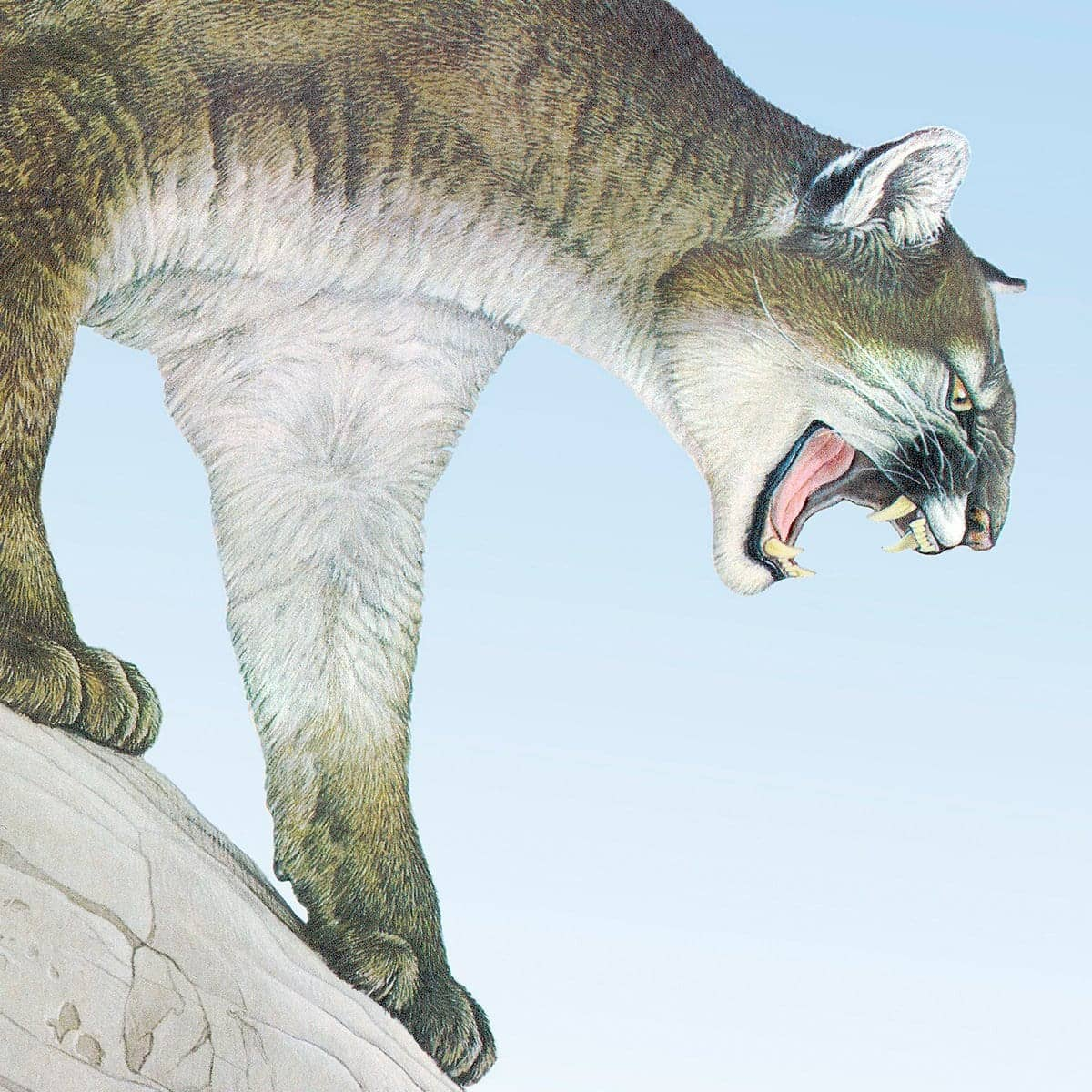 Cougar - Art Print by Glen Loates from the Glen Loates Store