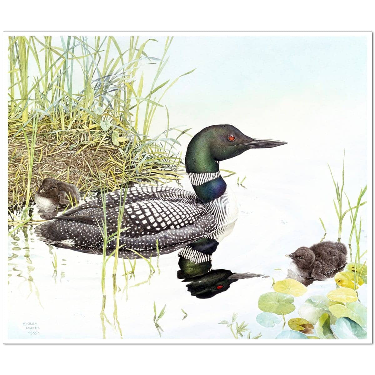 Loon with Young - Art Print
