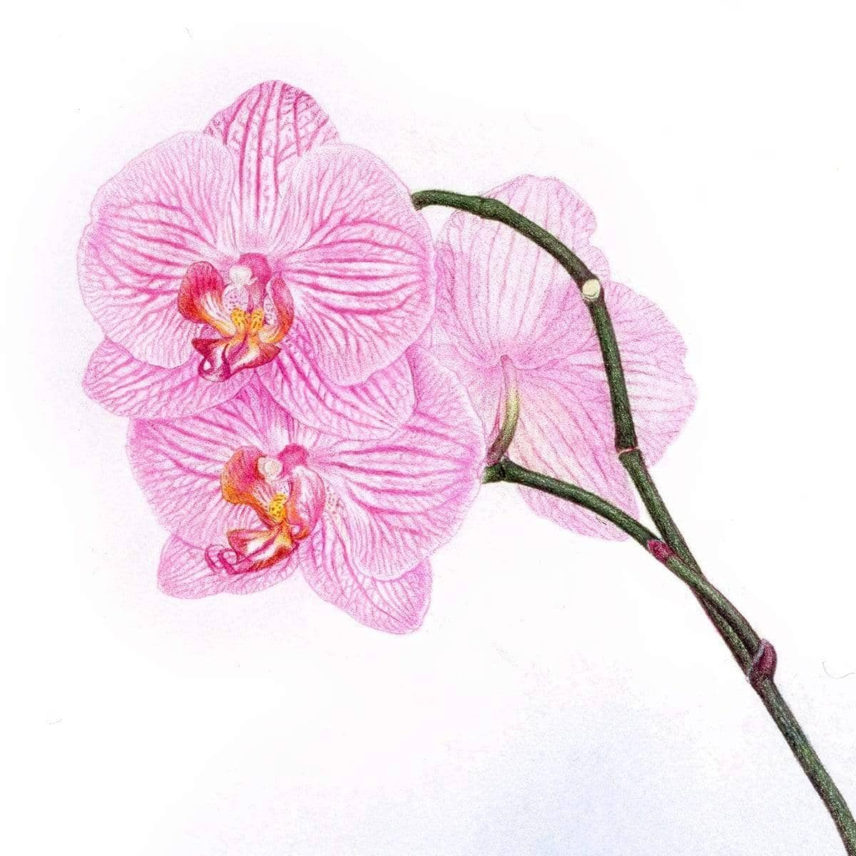 Orchid - Art Print | The Official Glen Loates Store
