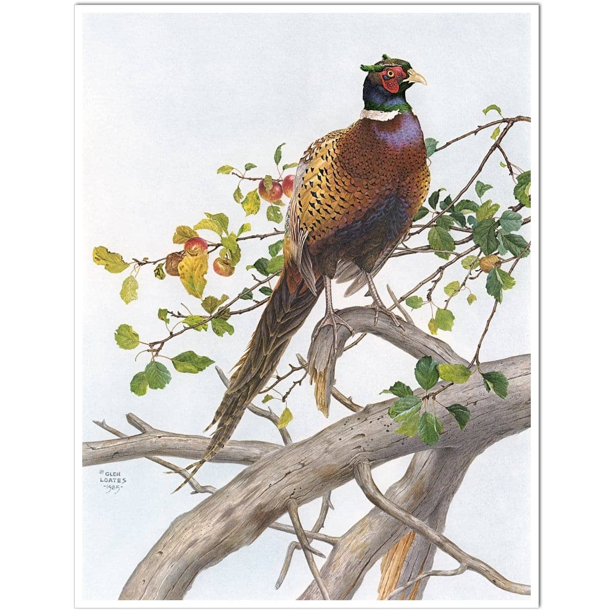 Pheasant in Apple Tree - Art Print