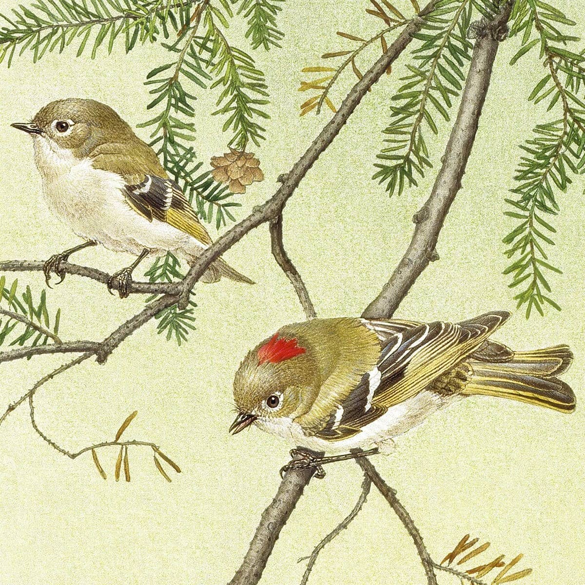 Ruby Crowned Kinglet - Art Print