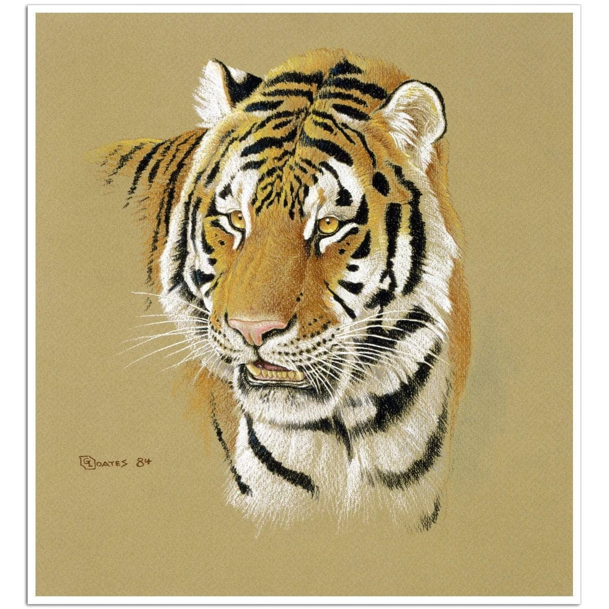 Tiger Portrait - Art Print by Glen Loates from the Glen Loates Store