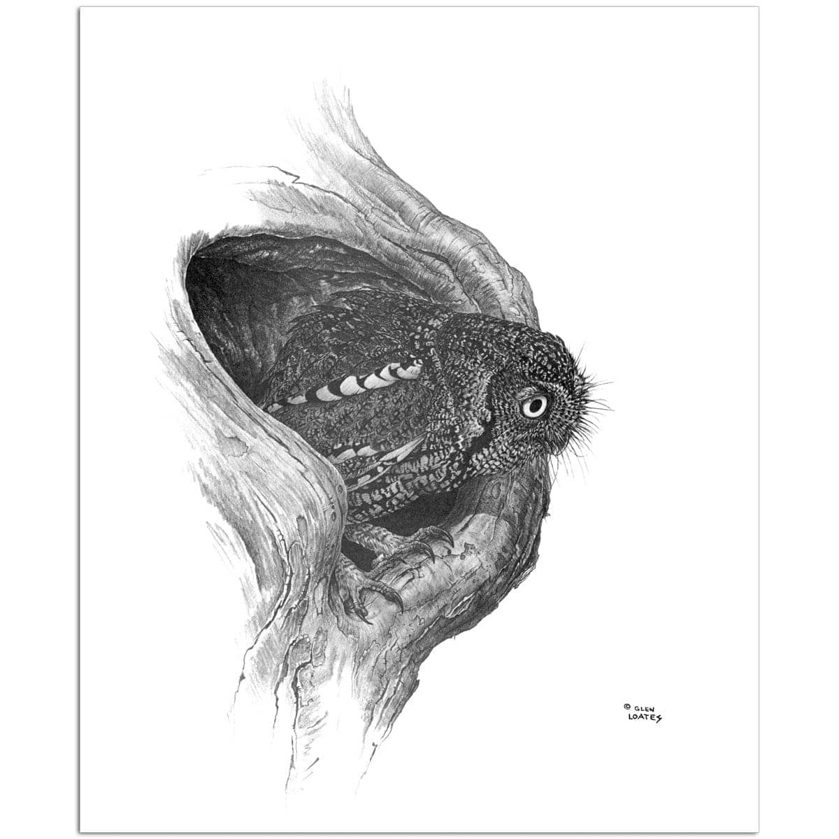 Whiskered Owl - Art Print