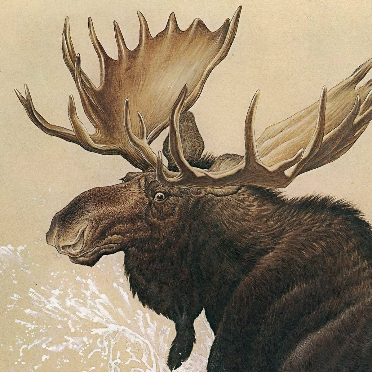 Moose - Canvas Print