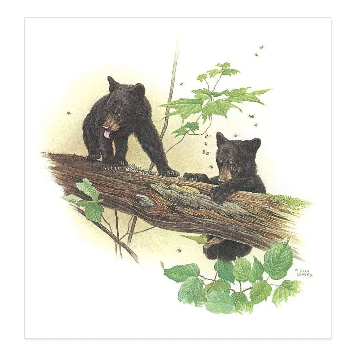 Black Bear Cubs - Art Print by Glen Loates from the Glen Loates Store