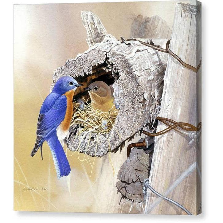 Bluebirds In Nest - Canvas Print