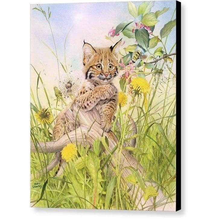 Bobcat Kitten - Canvas Print by Glen Loates from the Glen Loates Store