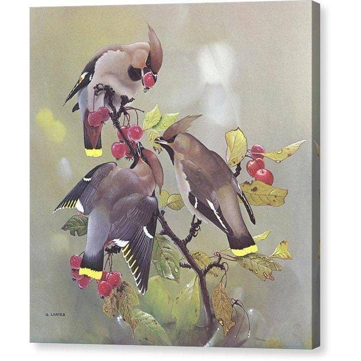 Bohemian Waxwing - Canvas Print by Glen Loates from the Glen Loates Store