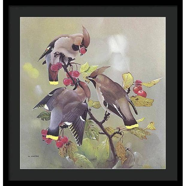 Bohemian Waxwing - Framed Print by Glen Loates from the Glen Loates Store