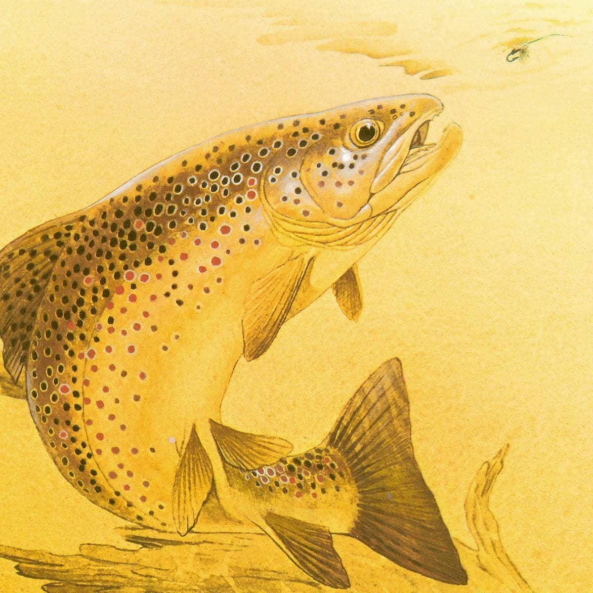 Brown Trout - Canvas Print by Glen Loates from the Glen Loates Store