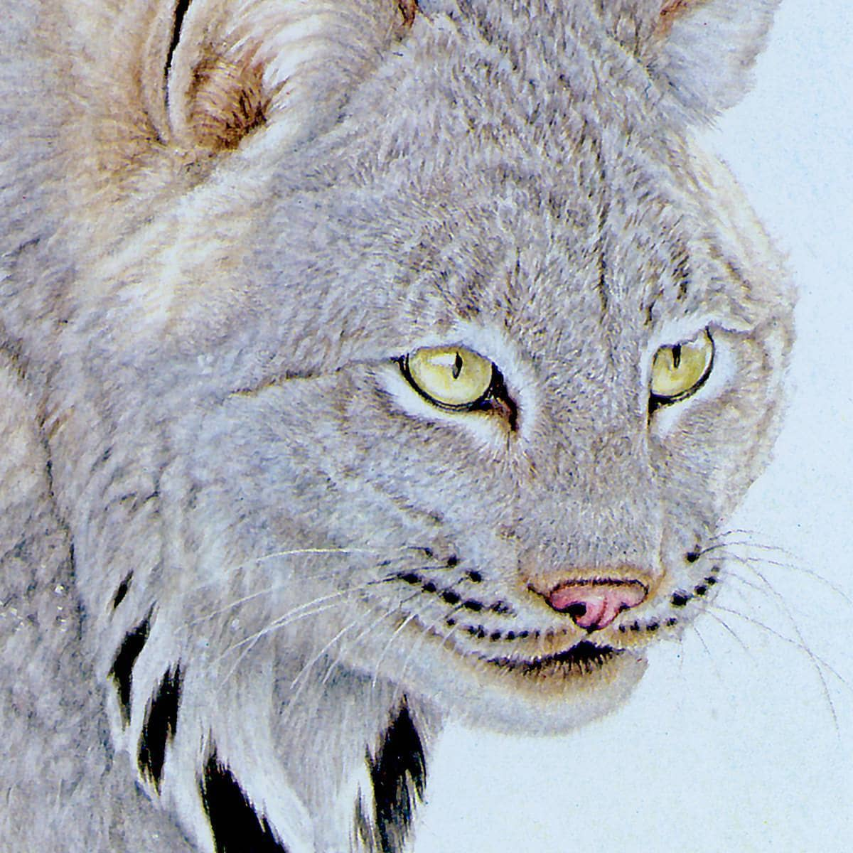 Canada Lynx - Art Print by Glen Loates from the Glen Loates Store