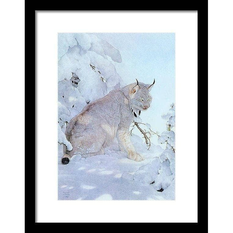 Canada Lynx - Framed Print by Glen Loates from the Glen Loates Store