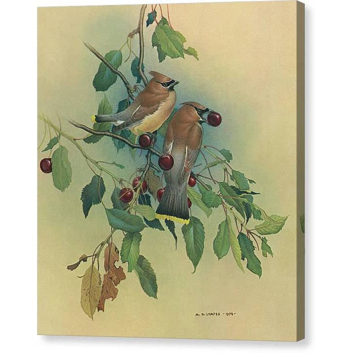Cedar Waxwings in Cherry Tree - Canvas Print