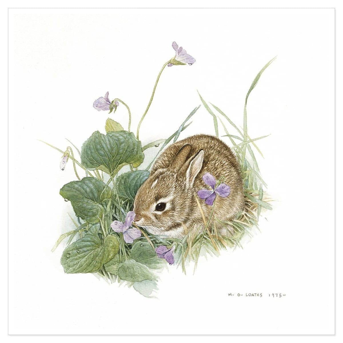 Cottontail Bunny - Art Print by Glen Loates from the Glen Loates Store