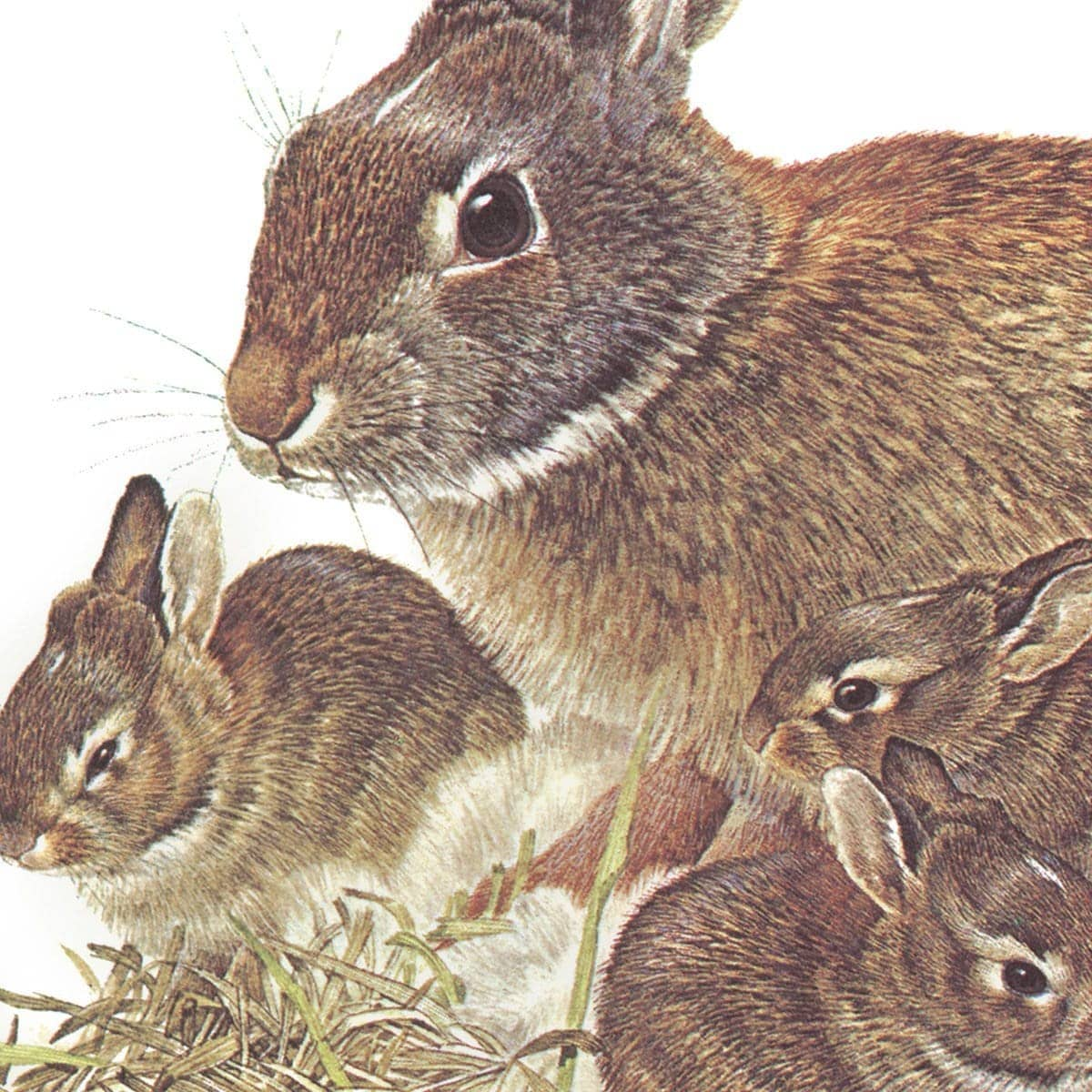 Cottontail Rabbit - Art Print by Glen Loates from the Glen Loates Store