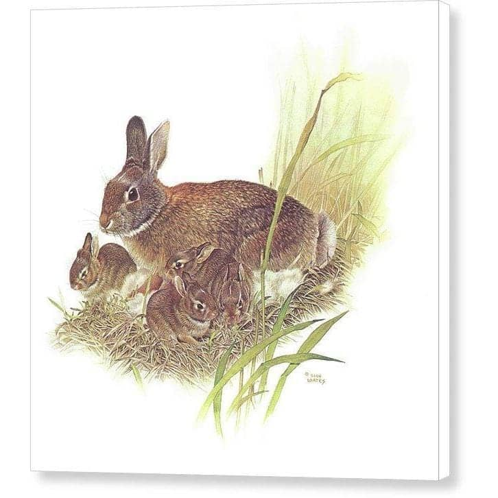 Cottontail Rabbit - Canvas Print by Glen Loates from the Glen Loates Store