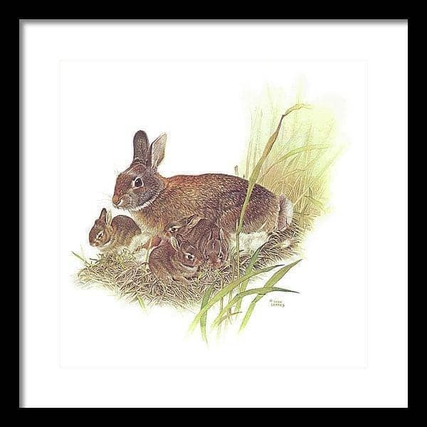 Cottontail Rabbit - Framed Print by Glen Loates from the Glen Loates Store