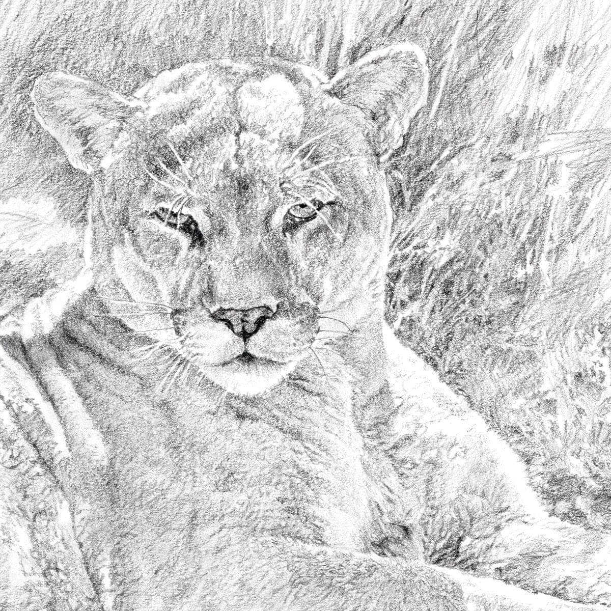 Cougar Basking - Art Print by Glen Loates from the Glen Loates Store