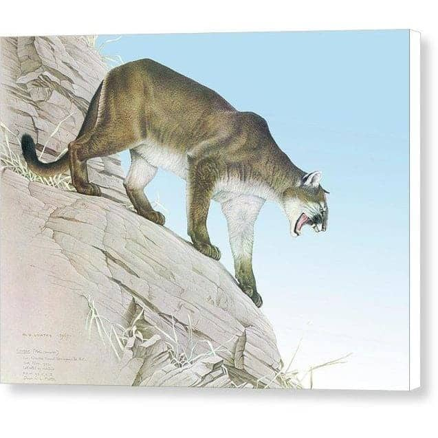 Cougar - Canvas Print by Glen Loates from the Glen Loates Store