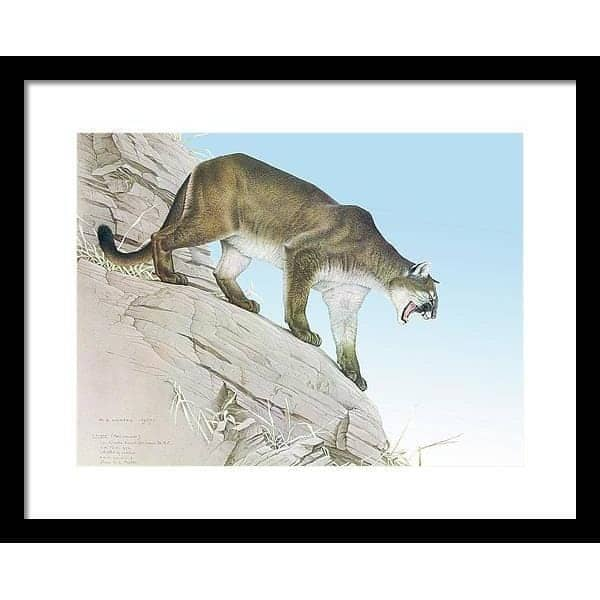 Cougar - Framed Print by Glen Loates from the Glen Loates Store