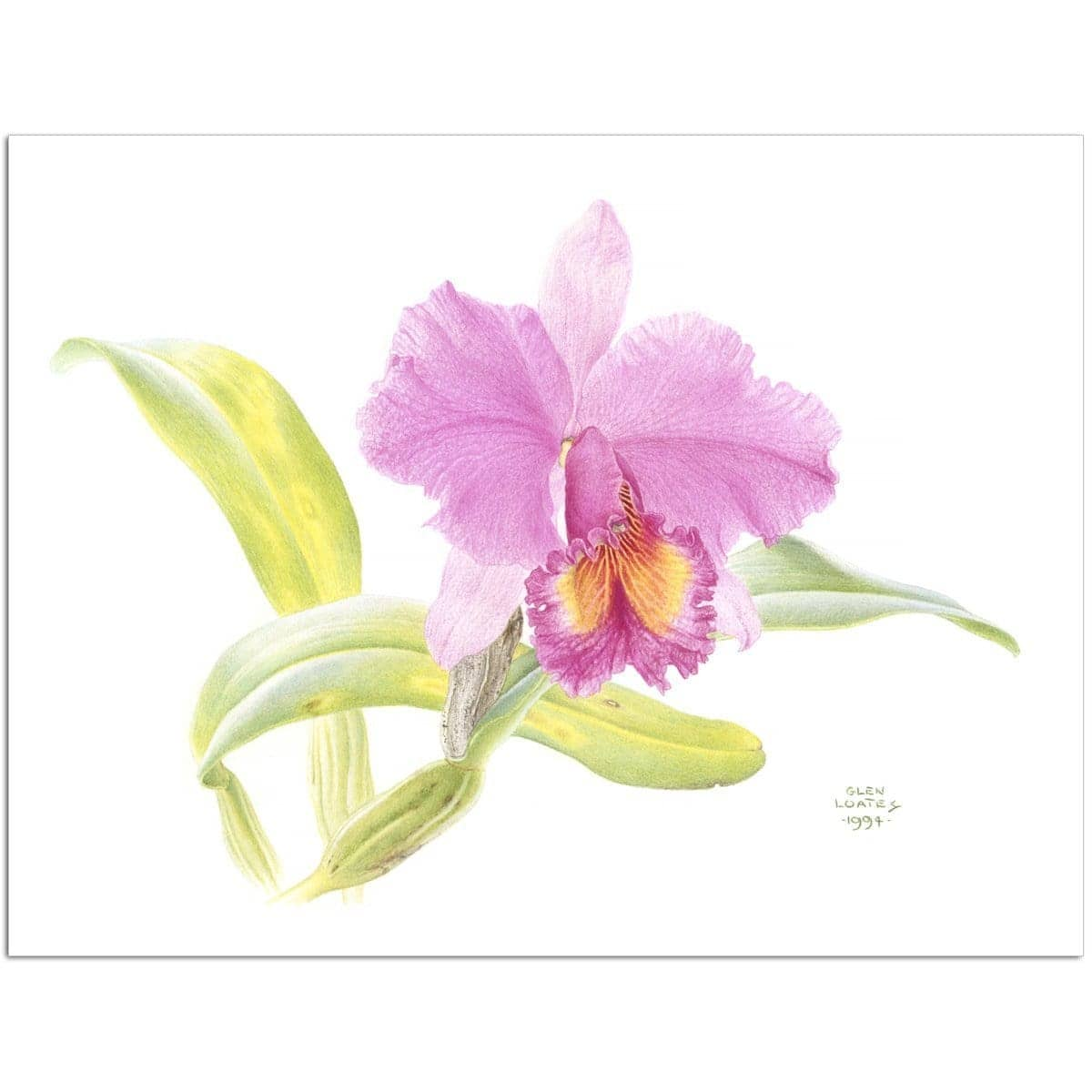 Crimson Cattleya Orchid - Art Print by Glen Loates from the Glen Loates Store