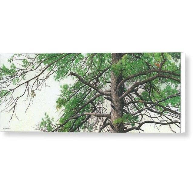 Eastern White Pine - Canvas Print by Glen Loates from the Glen Loates Store