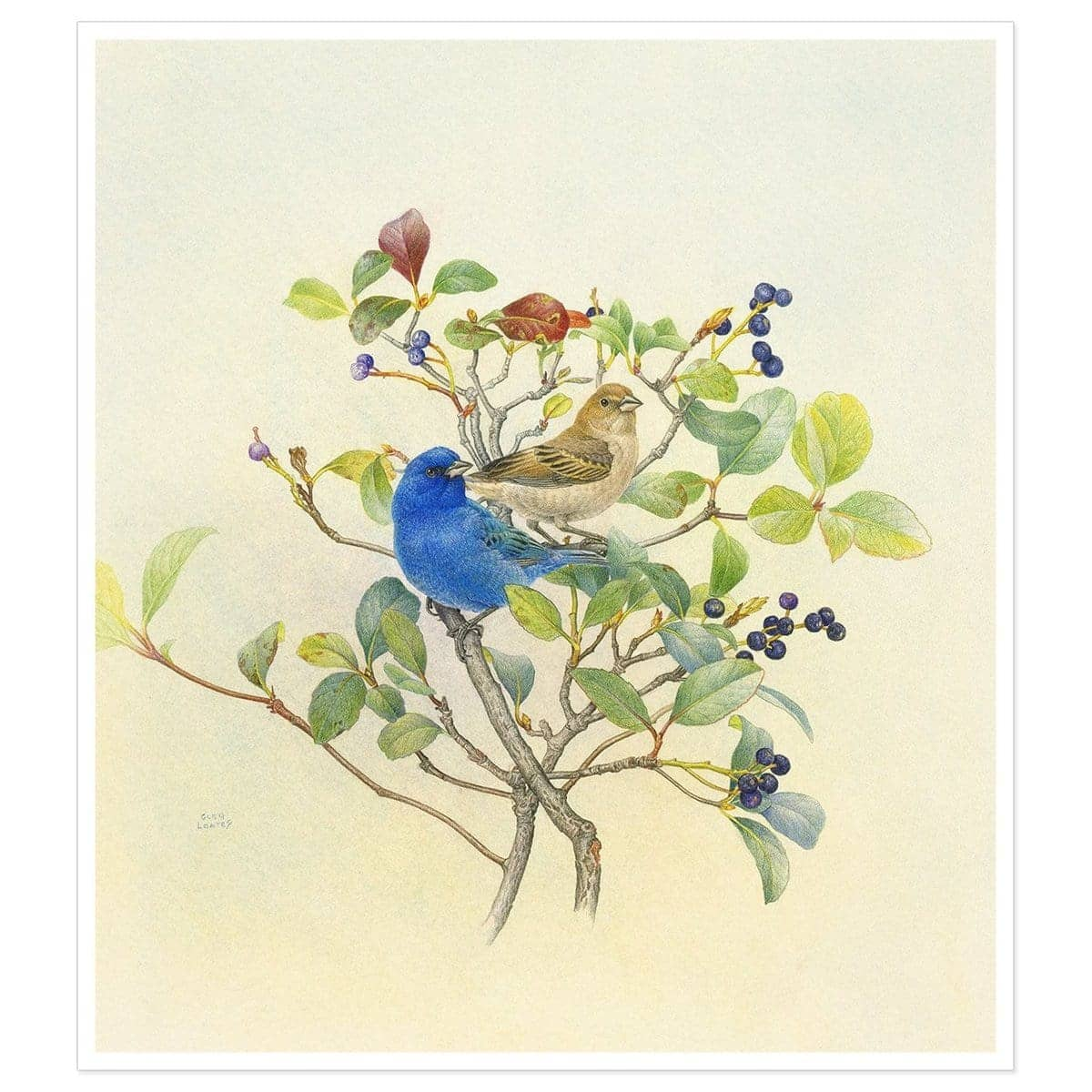 Indigo Buntings - Art Print by Glen Loates from the Glen Loates Store