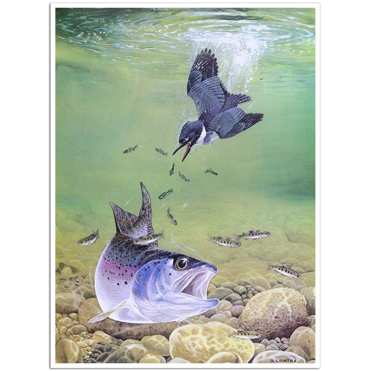 Kingfisher And Rainbow Trout - Art Print by Glen Loates from the Glen Loates Store